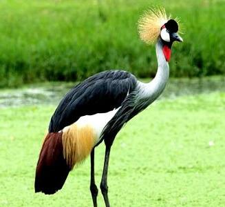 Uganda's National Symbol: The Crested Crane | HWMCO