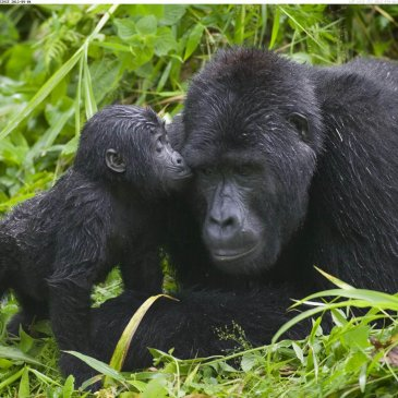 Uganda Belongs to the Only Three Countries in the World Where Mountain Gorillas Live!