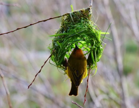 Much Seen at Lake Bunyonyi: the Weaver Bird, Known For its Love Nest.
