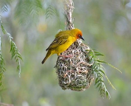 De wevervogel: veel gezien bij Lake Bunyonyi en bekend vanwege zijn 'liefdesnest'.